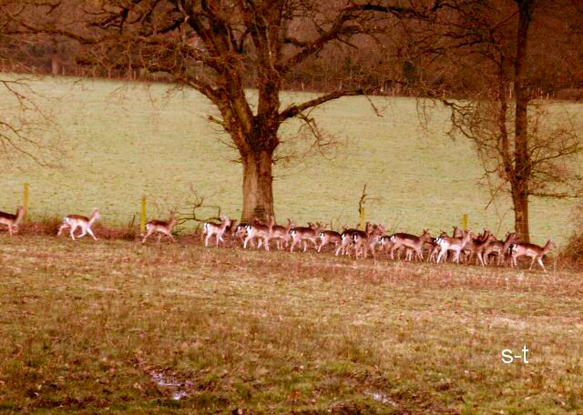 Deer at Timsbury, near Romsey